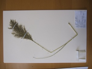 My attempt at mounting a grass specimen, note label in bottom right, linen straps and envelope to store loose seed