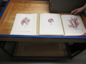Nature prints of seaweeds