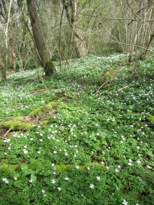Carpet of Wood Anemone in April